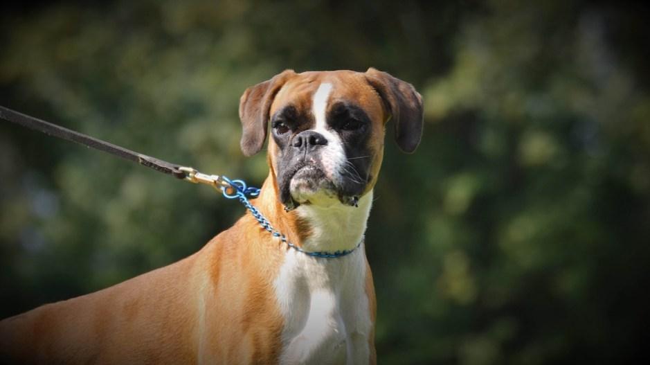 Deutscher Boxer Hund Charakter Aussehen Und Haltung