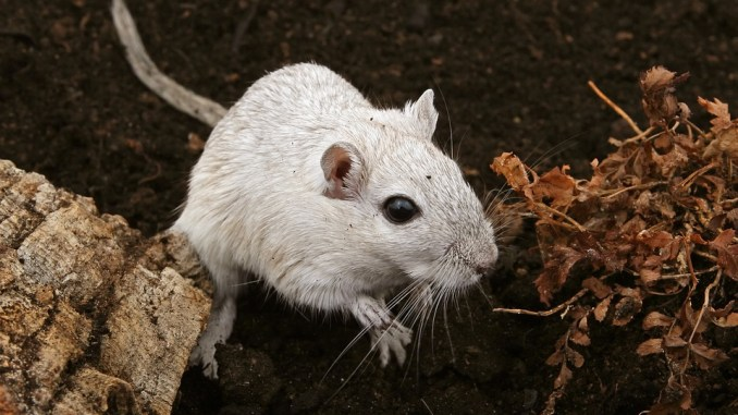Hamsterratte
