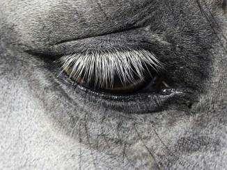 periodische-augenentzuendung-pferd