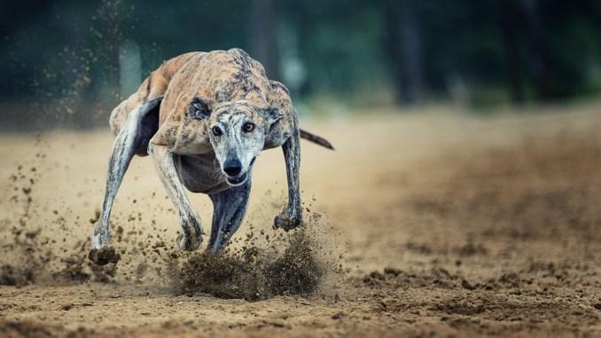 hund-laeuft