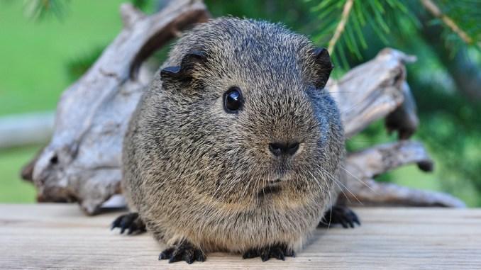 kleintiere-liste-meerschwein