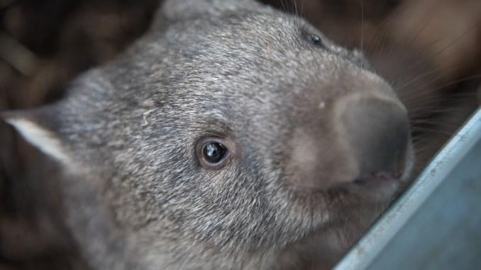 wombat-als-haustier-halten