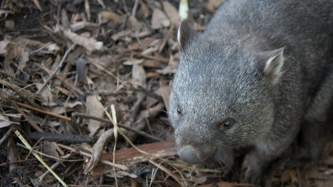 wombat-als-haustier