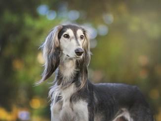Windhund hält Ausschau