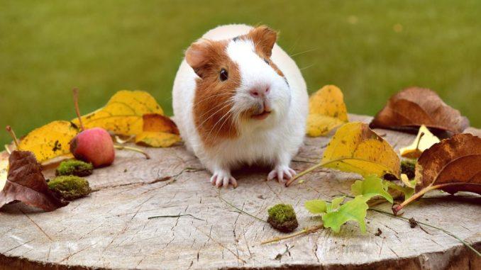kleintierhaus-fuer-meerschweinchen