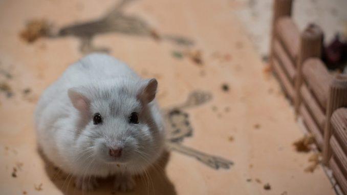 Süßer Hamster