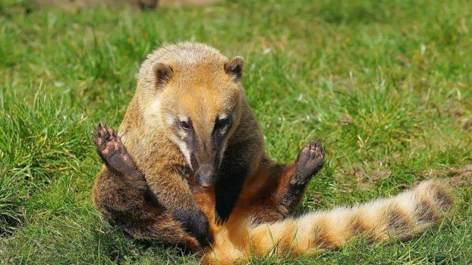 Nasenbär, Haltung als Haustier