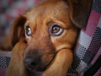 Rimadyl für Hunde mit schmerzen