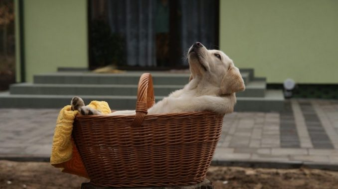 hundebox-labrador-korb