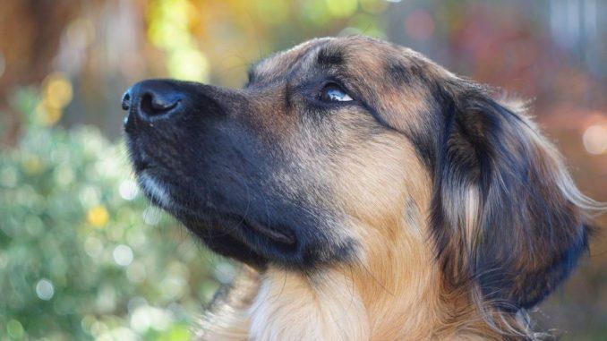 Rumänischer Hund guckt nach oben