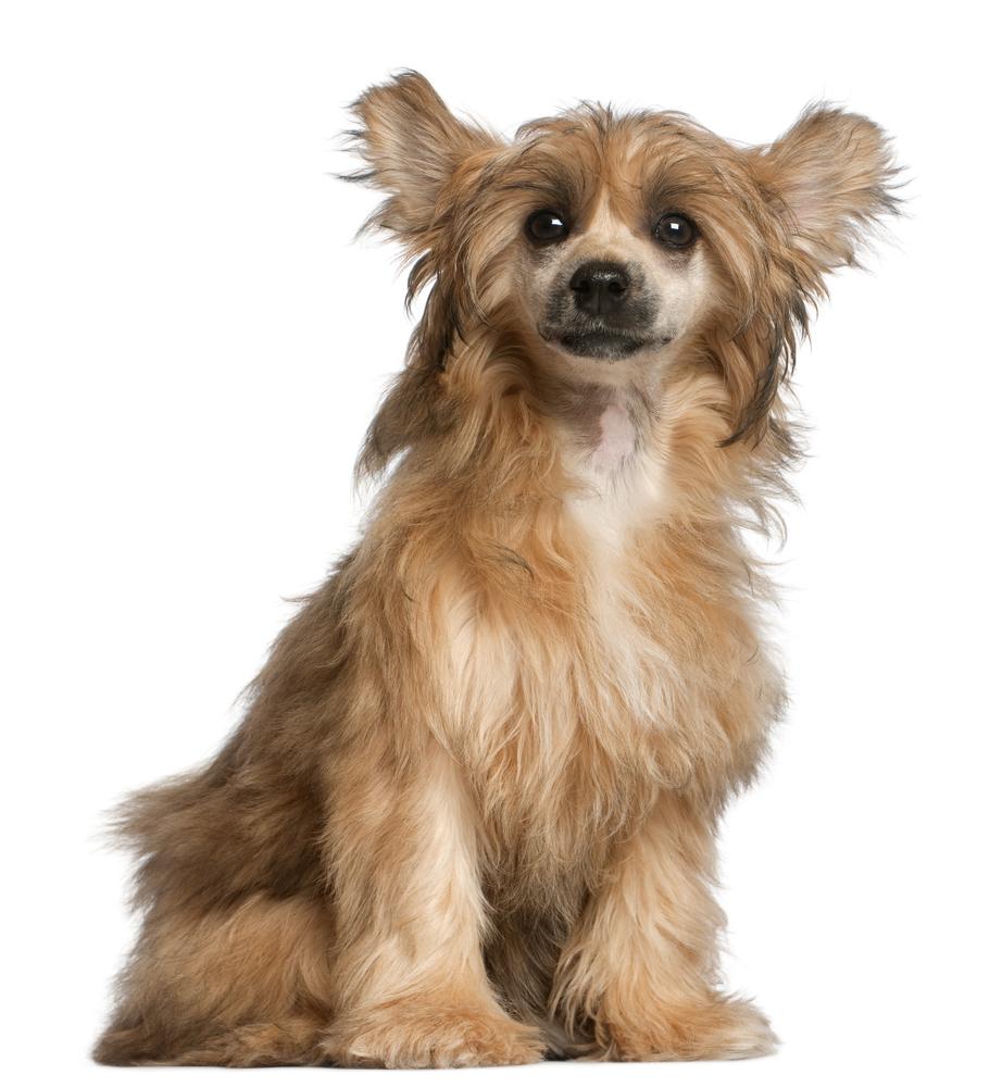 Chinese Crested, Chinesischer Schopfhund und Powder Puff (2/4)