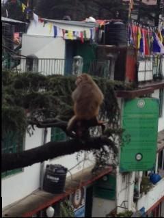 Mein Nachbar in Dharamsala