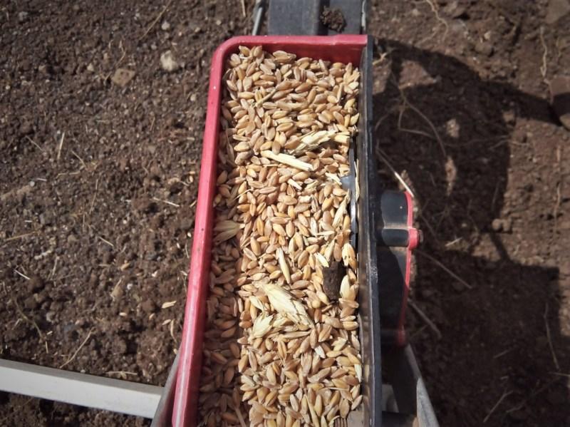 Ensayo trigo par panificación 2019 (juan manuel - Biocenobio) (7)