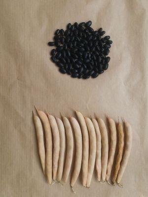 Vaina y semilla 1(1)