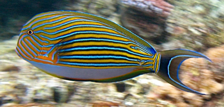 Impulsan la acuacultura de peces ornamentales tierra for Acuariofilia peces ornamentales