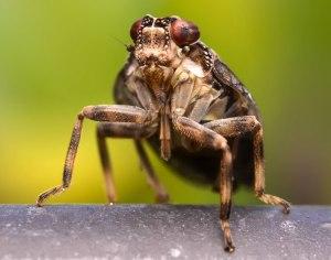 """Encuentran sistema de engranaje en un insecto """"Issos coleoptratus"""""""