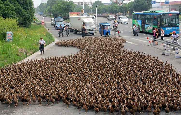 Efecto Donald llega a un ejército de patos en China