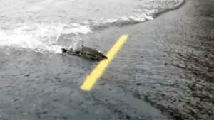 Salmones de Washington cruzan una ruta inundada