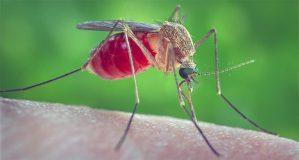 Crisis del mosquito: la especie más mortal