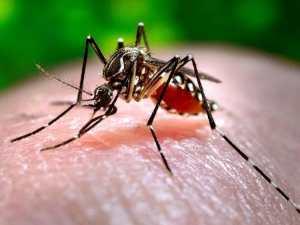 Por qué los mosquitos zumban en los oídos