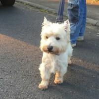 West Highland Terrier zugelaufen