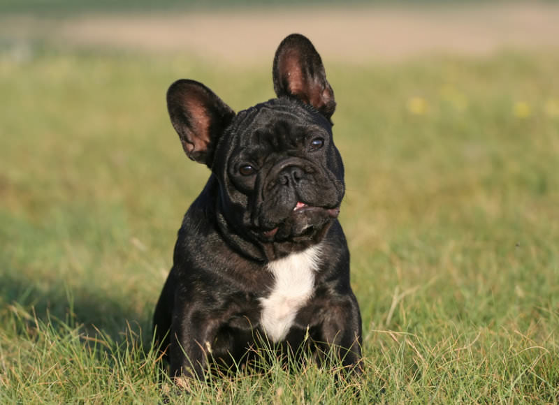 Pflegestelle für zwei Französische Bulldoggen gesucht