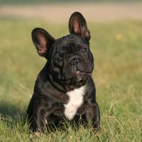 Pflegestelle für Bulldoggen gesucht
