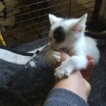 Handaufzucht Katzenbaby Mila