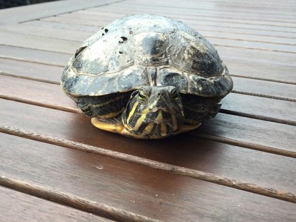 Schildkröte zugelaufen