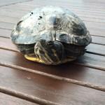 Zugelaufene Schildkröte in Neuhof