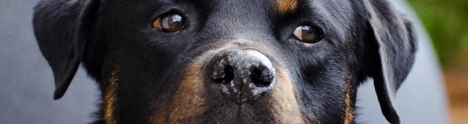 Hunderasse_Rottweiler_Hunde_A_Z