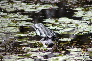 Alligator at rest in the swamp.