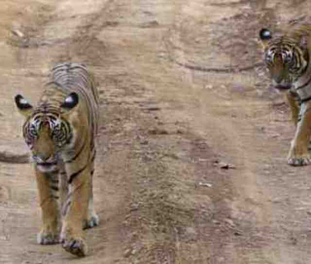 2 Tigers Found Dead In Maharashtra