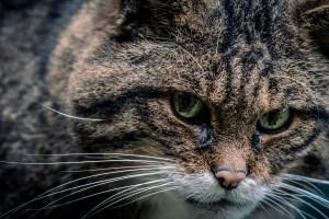 Hamish, a Scottish Wildcat