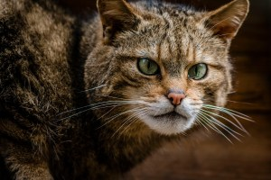 Islay, a Scottish Wildcat