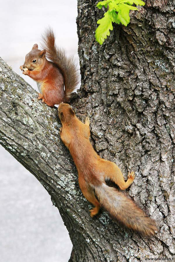 mulle-kans-sanoo-orava