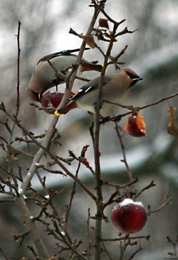 waxwings and winter apples