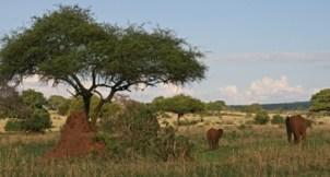 Termiittikeko ja norsut Tarangiressa - Afrikkaa tyypillisimmillään?