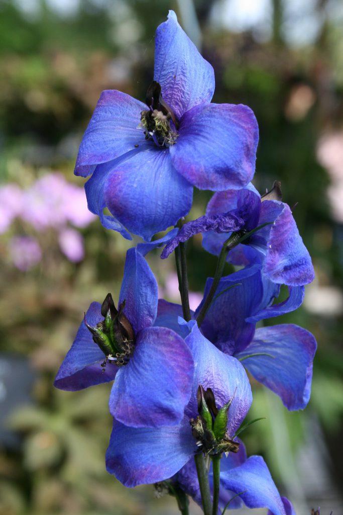 Ridderspoor (Delphinium elatum)