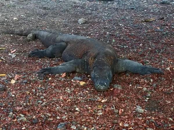 Komodo Dragon Hunting In Indonesia