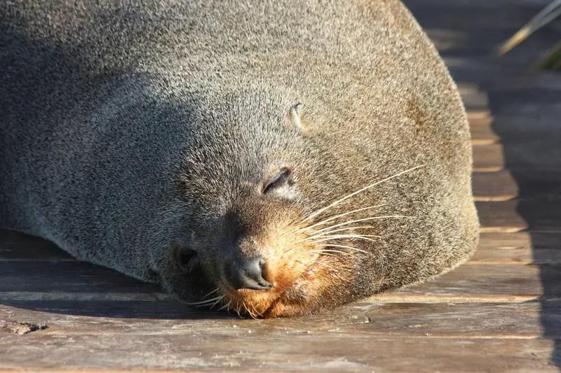 fur colony canterbury