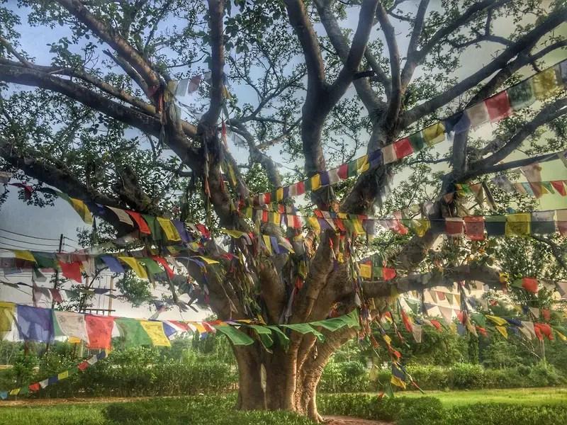 tree where buddhas birthplace is