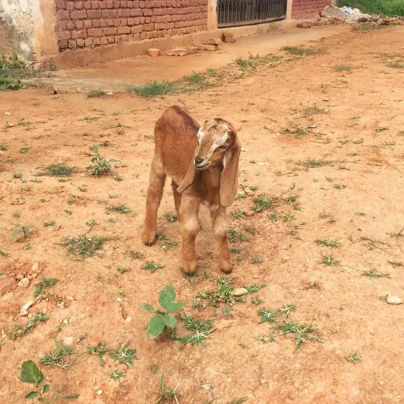 panauti goat