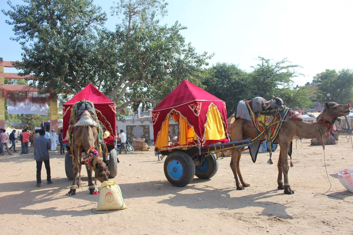 the camel chariot
