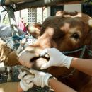 TIKTAK.ID - Penyakit Antraks Mewabah di Gunung Kidul, Kenali Gejalanya