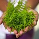 Inilah 5 Manfaat Rumput Laut untuk Kesehatan