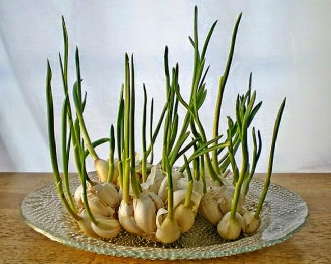 32805-R3L8T8D-650-garlicps