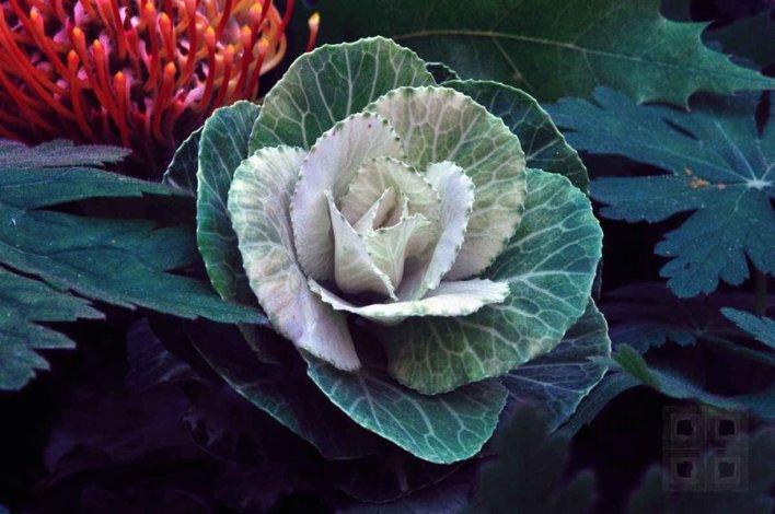 cabbage_flower_by_philluppus-d5fj6xx