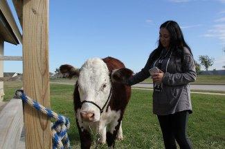 Reba, a prize-winning show cow.