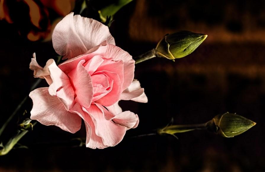 carnation-406851_1920